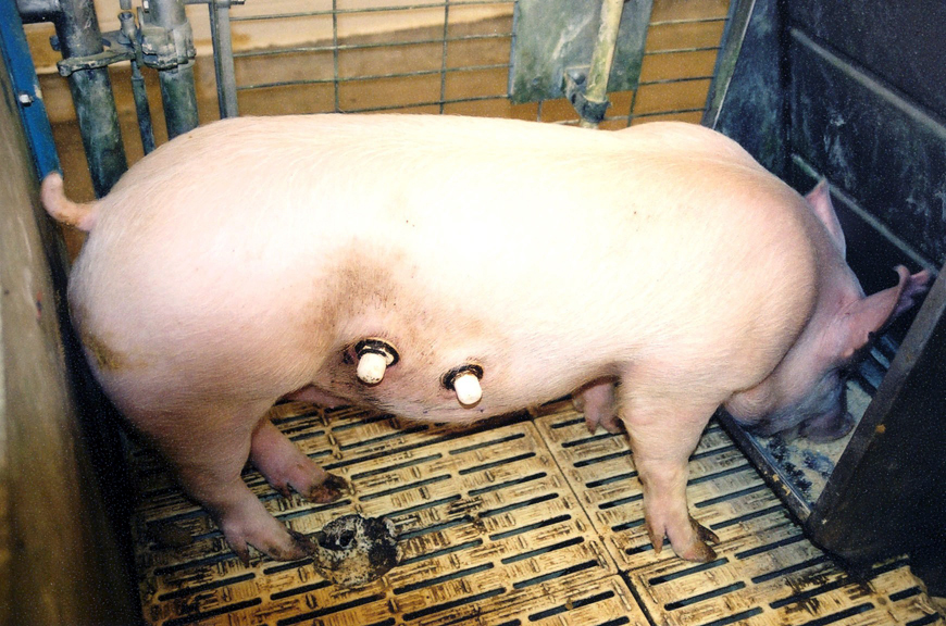 Cannulated pig
